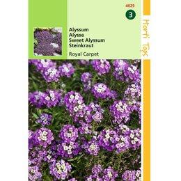 Alyssum Royal Carpet